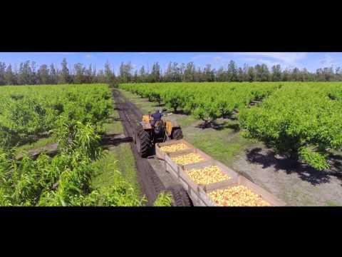 Naranjales Guarino - Cosecha